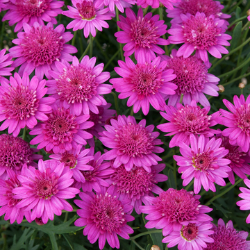 photo of Argyranthemum Madeira Crested Hot Pink