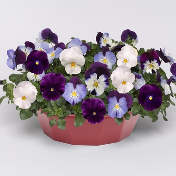 photo of Pansy Cool Wave Berries 'n Cream