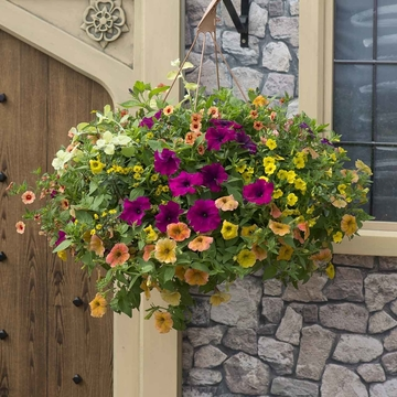 photo of Bollywood (hanging basket insert)