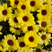 photo of Argyranthemum Grandaisy Bright Yellow