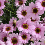 photo of Argyranthemum Grandaisy Pink Halo