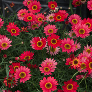 photo of Argyranthemum Grandaisy Red
