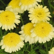 photo of Argyranthemum Madeira Crested Yellow