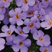 photo of Bacopa Abunda Colossal Blue