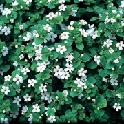 photo of Bacopa Snowflake
