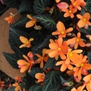 photo of Begonia Glowing Embers