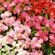 photo of Begonia Heavens Delight Mixed