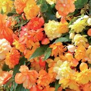 photo of Begonia Illumination Apricot