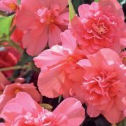 photo of Begonia Illumination Salmon Pink