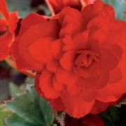 photo of Begonia Illumination Scarlet