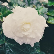 photo of Begonia Nonstop White