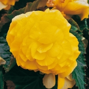 photo of Begonia Nonstop Yellow