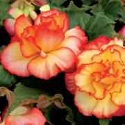 photo of Begonia tuberous Majestic Sunburst