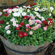 photo of Bellis Bellissima Mixed