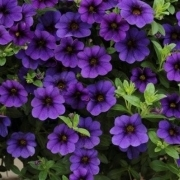 photo of Calibrachoa Cabaret Deep Blue