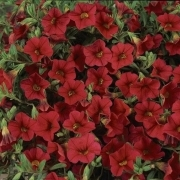 photo of Calibrachoa Cabaret Bright Red