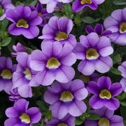 photo of Calibrachoa Cabaret Sky Blue