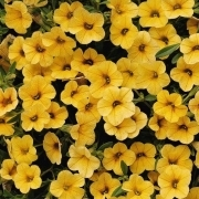 photo of Calibrachoa Cabaret Deep Yellow