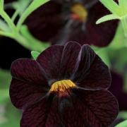 photo of Calibrachoa Can Can Black Cherry