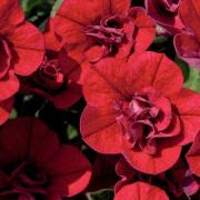 photo of Calibrachoa Can Can Double Red