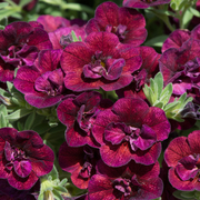 photo of Calibrachoa Can Can Double Wine Red