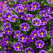 photo of Calibrachoa Starlight Blue