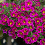 photo of Calibrachoa Starlight Pink