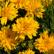 photo of Coreopsis Double The Sun