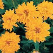 photo of Coreopsis Early Sunrise