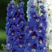 photo of Delphinium Guardian Blue