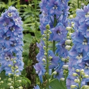 photo of Delphinium Magic Fountains Sky Blue
