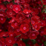photo of Dianthus F1 Rockin' Red (D. x barbatus interspecific)