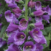 photo of Digitalis Dalmatian Purple