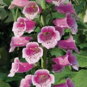 photo of Digitalis Dalmatian Rose