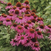 photo of Echinacea Pow Wow Wild Berry