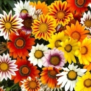 photo of Gazania Sunburst Mixed