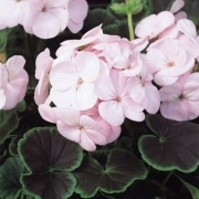 photo of Geranium Bulls Eye Light Pink