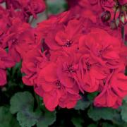photo of Geranium Fantasia Dark Red