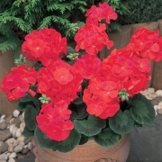 photo of Geranium New Century Red