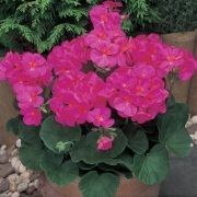 photo of Geranium New Century Violet