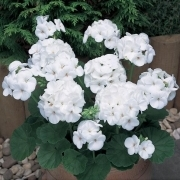 photo of Geranium New Century White