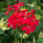 photo of Geranium Zonal Pelgardini Happy Thought Red