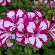 photo of Ivy Geranium Supreme Burgundy White