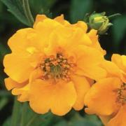 photo of Geum Lady Stratheden