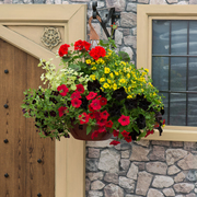 photo of Goldfinger (hanging basket insert)