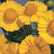 photo of Helenium Helena Gold