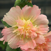 photo of Hollyhock Spring Celebrity Apricot