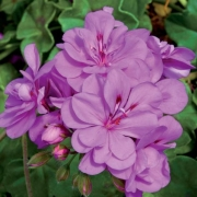 photo of Ivy Geranium Precision Amethyst