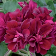 photo of Ivy Geranium Precision Burgundy Red