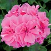 photo of Ivy Geranium Precision Light Pink